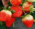 京郊五大草莓采摘地