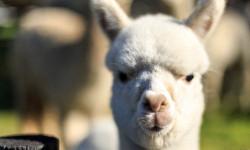 新西兰在羊驼农庄体会生命的感动