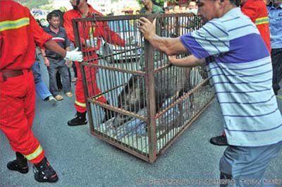 野猪被工作人员关进笼子带走