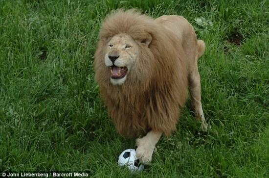 南非动物园雄狮痴迷足球 对雌狮子一点不感兴趣(图)