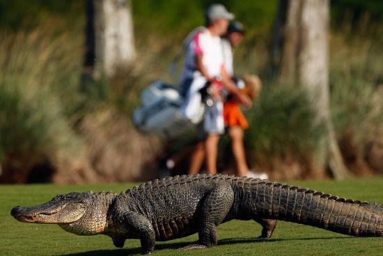 鳄鱼光顾新奥尔良高尔夫赛场