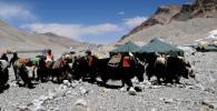 图文-探访珠峰5200米大本营 牦牛队向6500米运输
