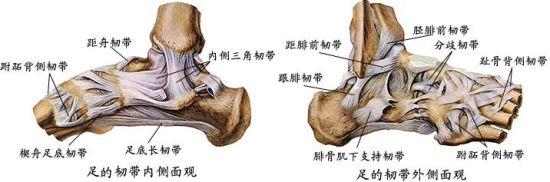 栀子花解剖结构-足踝扭伤需遵循PRICE原则 平时预防很关键
